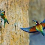 Abejarucos (Merops apiaster)