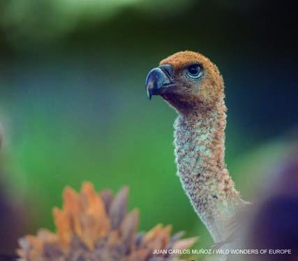 Hide de fotografía de Buitres Leonados Reserva Biológica Campanarios de Azaba