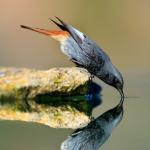 Colirrojo tizón macho (Phoenicurus ochruros)