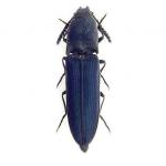 Coleóptero (Limoniscus violaceus)