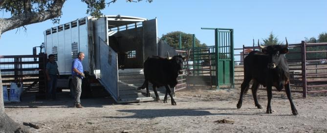 Vacas Sayaguesas