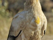 Egyptian vulture, Faia Brava reserve, Côa valley,Portugal