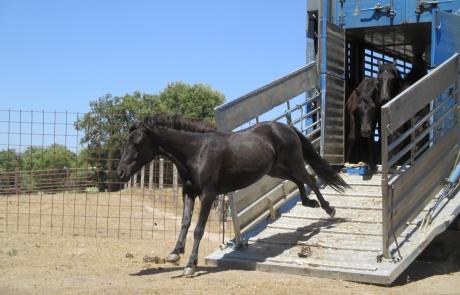 Una nueva raza antigua de caballos llega a la Reserva Biológica Campanarios de Azaba