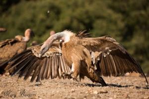 avvoltoio 6_muladar