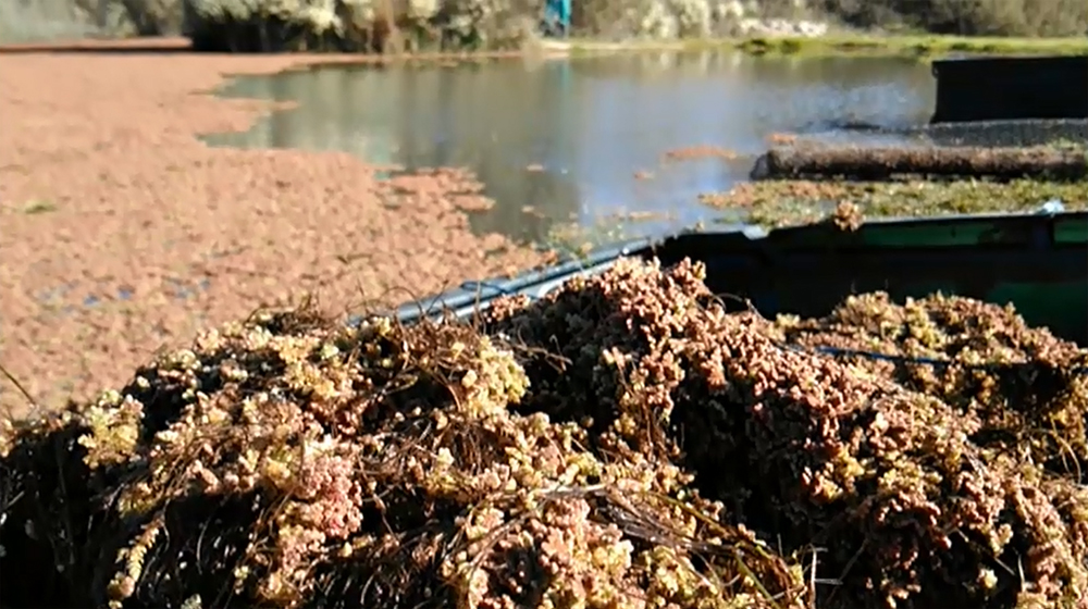 Azolla tapizando una laguna de Campanarios de Azaba