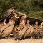 Buitres leonado (hides Muladar)
